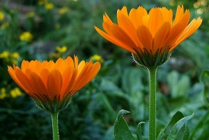 Calendula-Hula-Who!??? And why YOU should know.