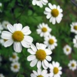 German-chamomile-300x225