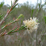 Melaleuca (Tea Tree)