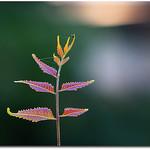 Neem Tree Flower