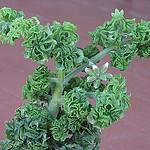 Pelargonium Graveolens Geranium Rose Flower
