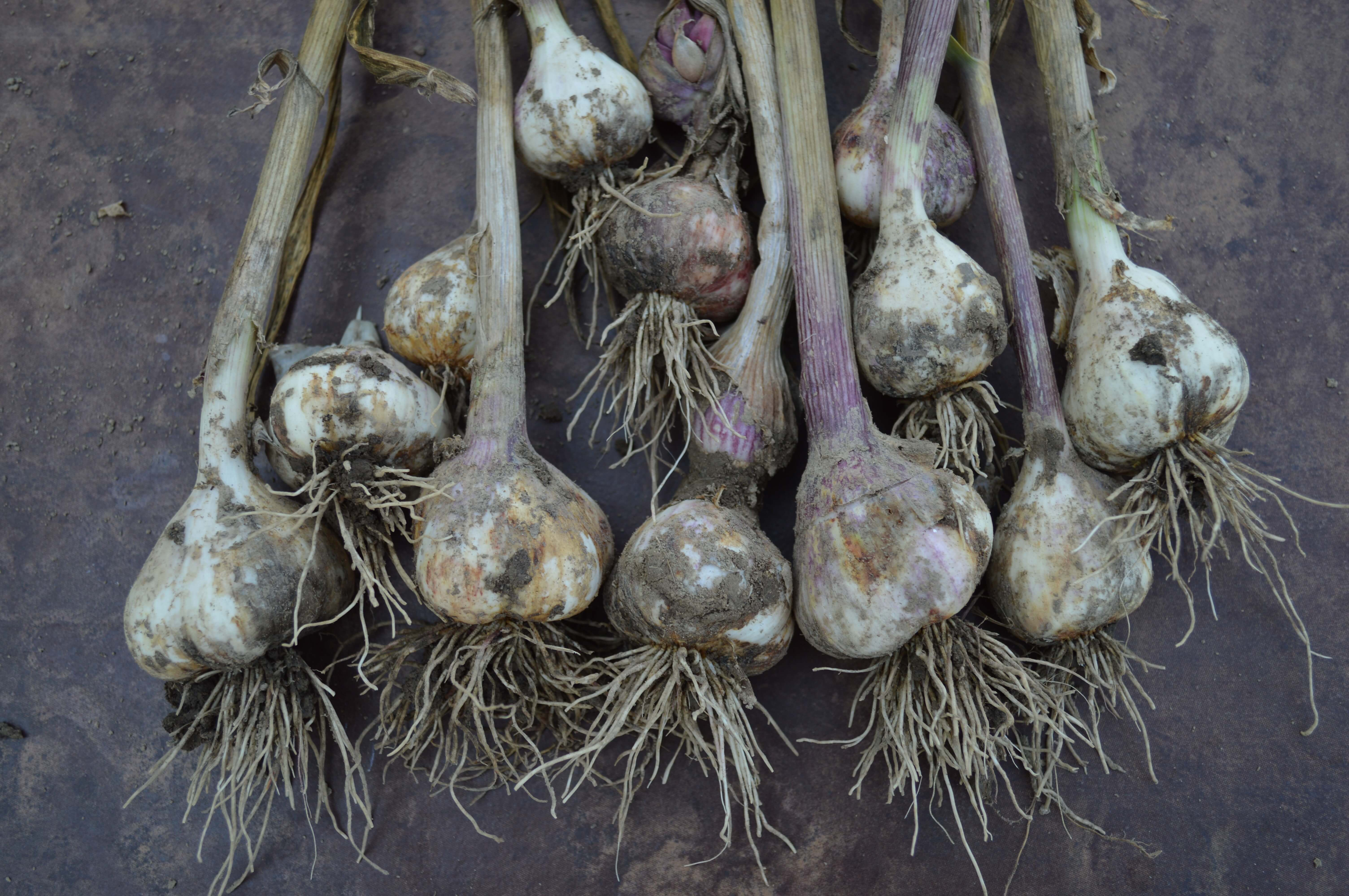 Take these lessons learned by Claire into consideration when planting garlic in your garden so it increases your chances of a bountiful harvest.