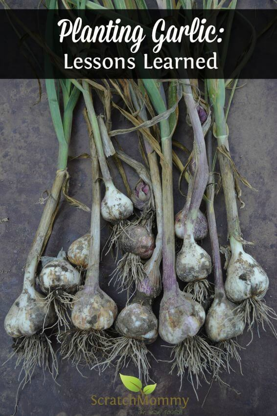 planting-garlic-lessons-learned-scratch-mommy