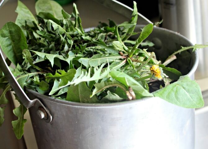 Bucket Dandelion Greens- Use plentiful dandelions in your home, for body products, and in food!- Scratch Mommy