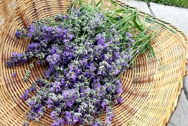 Lavender Herb Ultimate Guide - Learn How To Use Lavender For Home, Body, & Food - Scratch Mommy