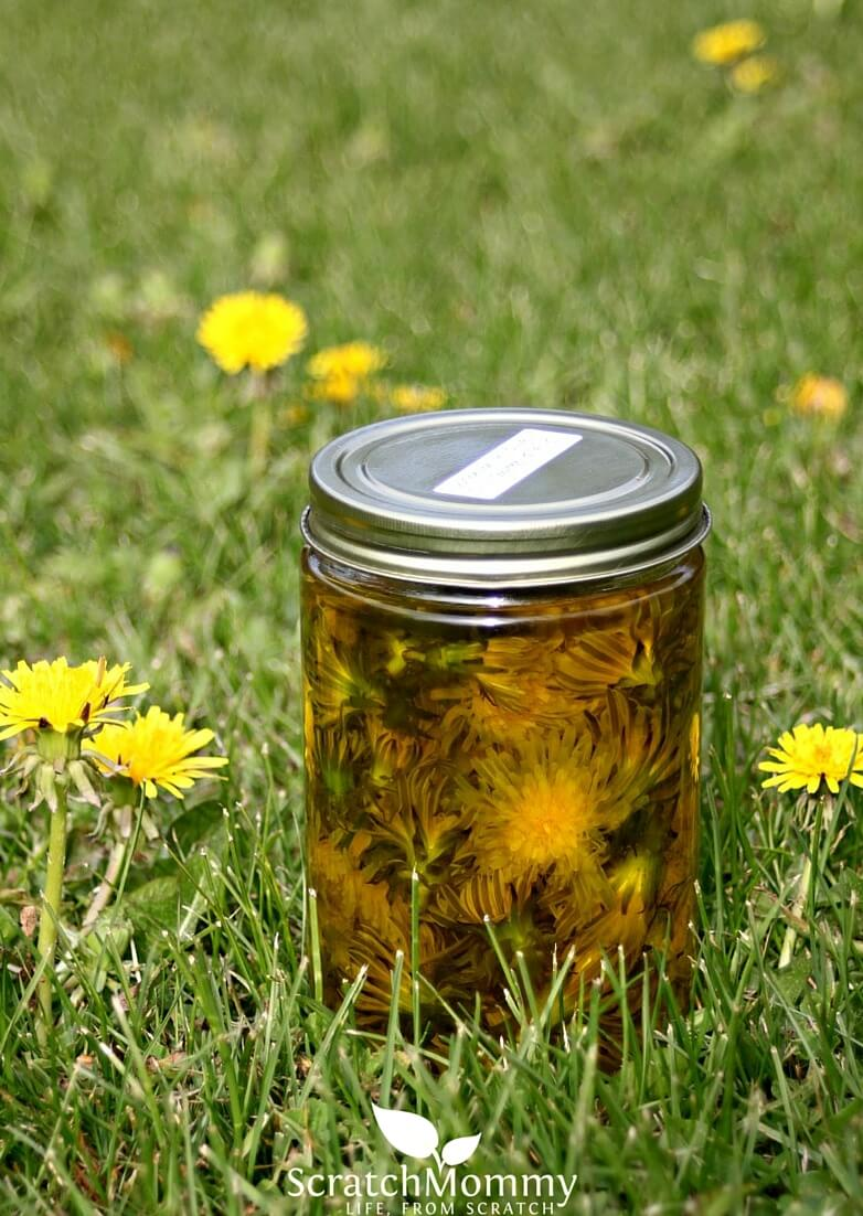Dandelions infusing in carrier oil. Learn how to create your own dandelion-infused hand lotion!- Scratch Mommy