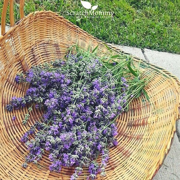 Beautiful lavender is perfect for your skin healing DIY herbal garden!- Scratch Mommy