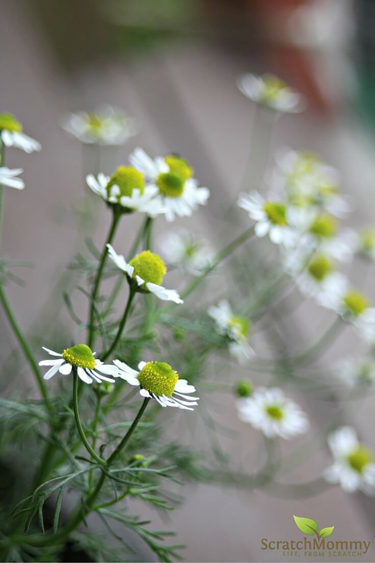 Learn how to use chamomile in your very own skin healing herbal garden!- Scratch Mommy