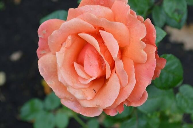 Learn how to use roses in your healing DIY skincare routine, from your own herbal healing garden!- Scratch Mommy