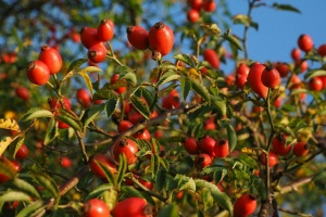 Rosehips ready to harvest- Come learn their benefits and how to use them!- Scratch Mommy