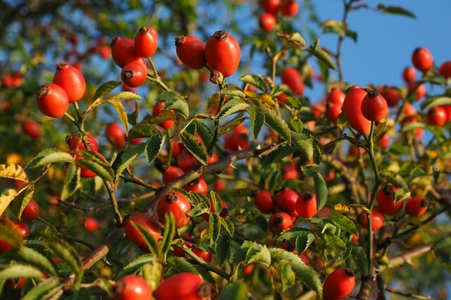 Learn About Rosehip Benefits & Uses