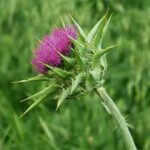milk_thistle_seeds-product_1x-1403644400